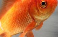 The Goldfish Generation